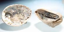 Seeohr-Muschel - Haliotis midae (curugata), ca. 10-15 cm
