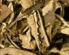 Yerba Santa (Eriodictyon californicum) - 100 g