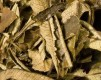 Yerba Santa (Eriodictyon californicum) - 50 g